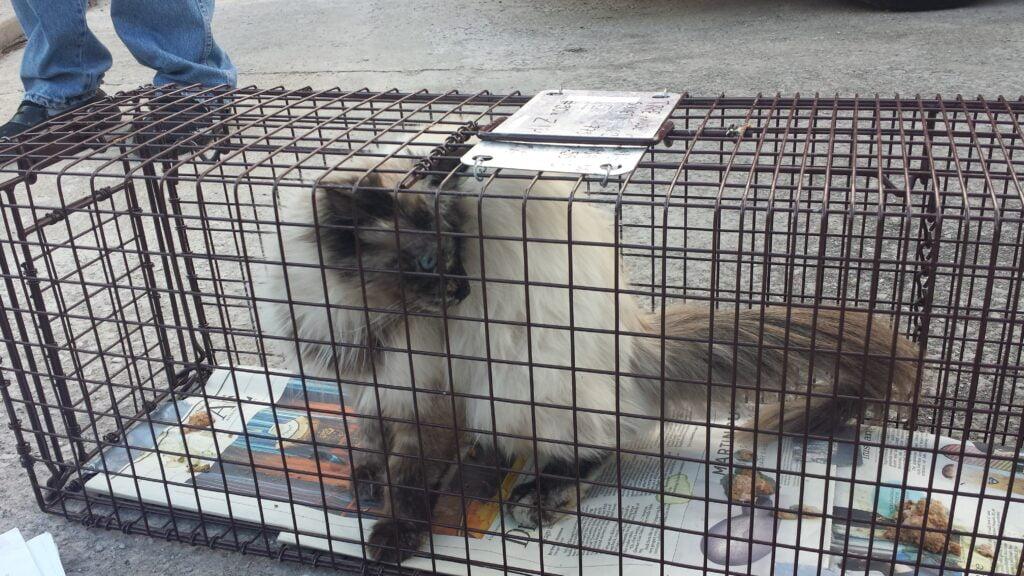 A Siamese feral cat trapped in a cat trap