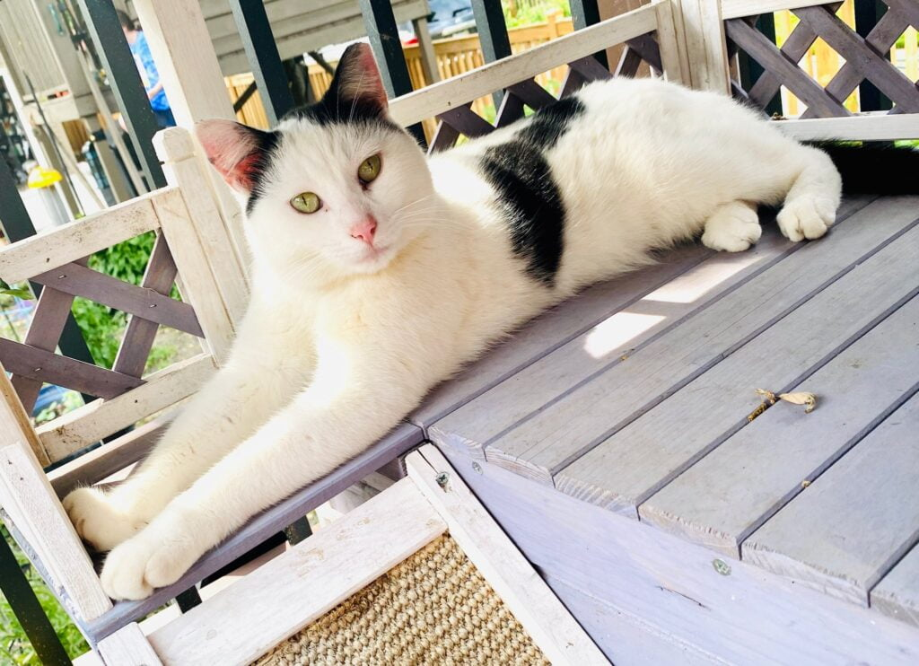 White and black cat lying on a porch