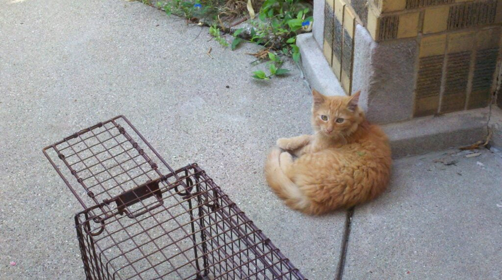 An orange cat lying on the ground outside next to a cat trap
