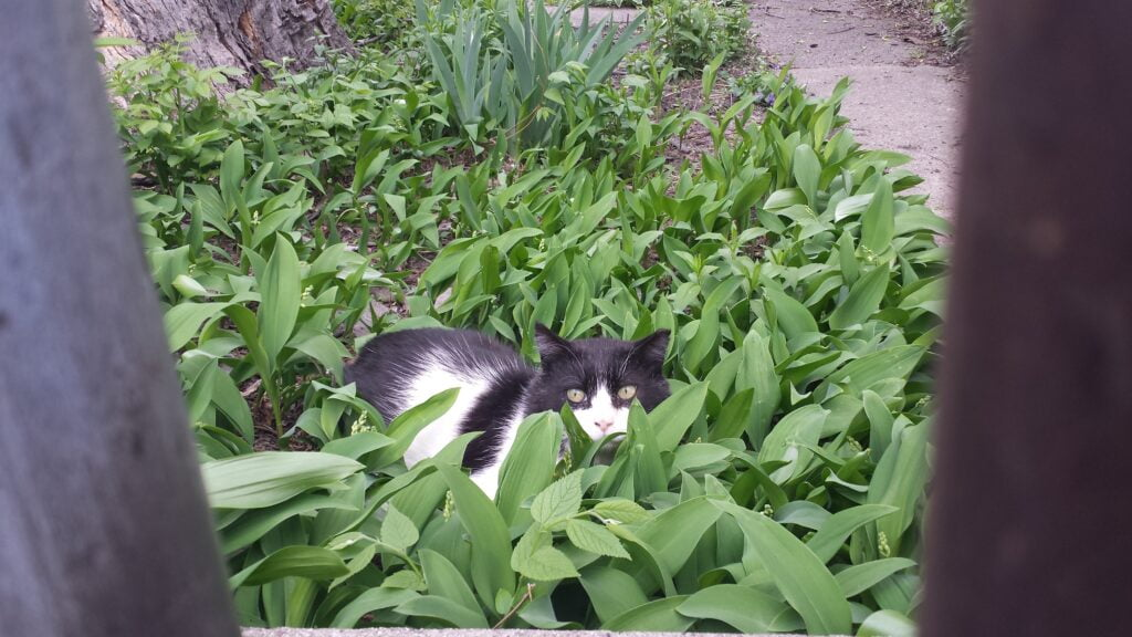 Gray and white kitten hiding in tall green plants