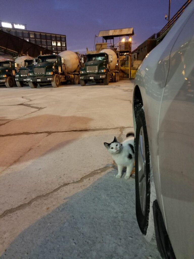 White and gray cat hiding outside by a silver car