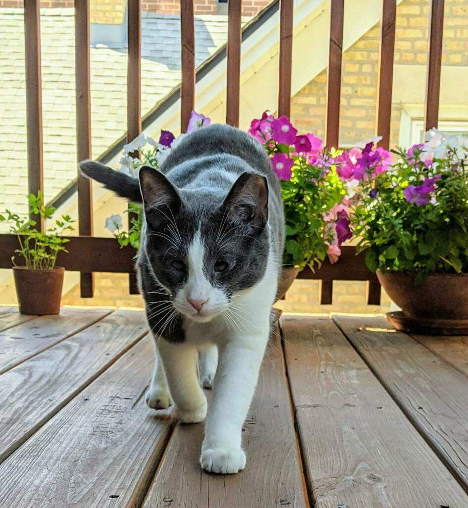Gray and white feral cat walking on a porch