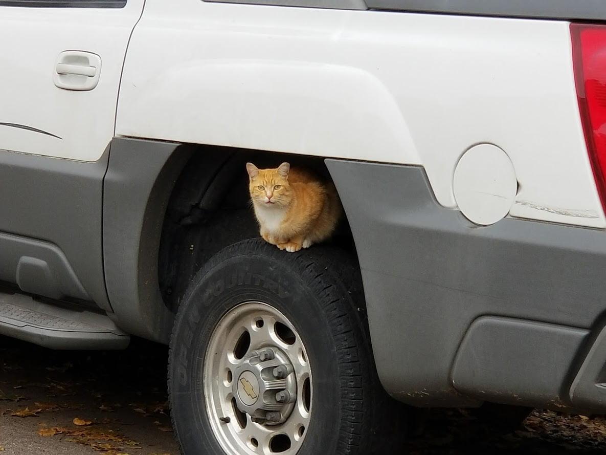 Feral orange cat hiding in a car's wheel well