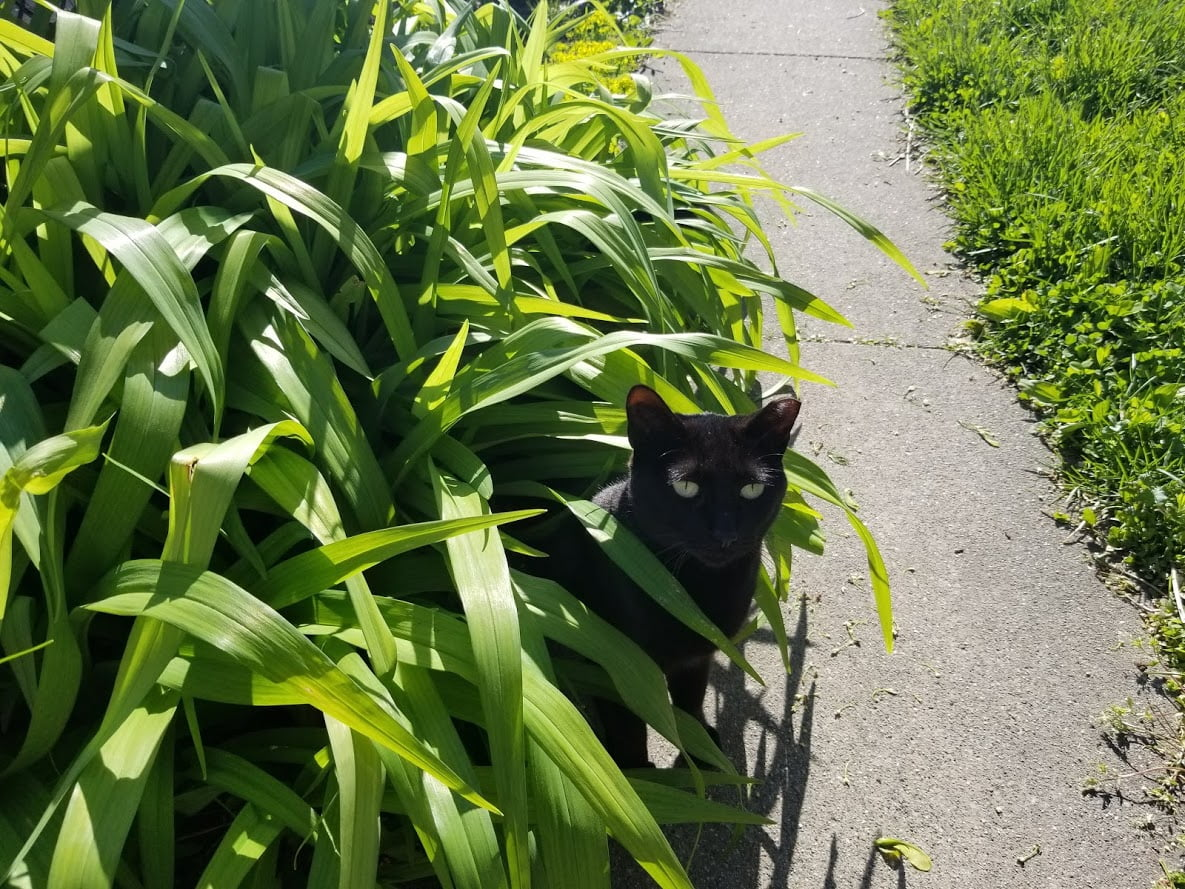 A black cat hiding in tall grass outside